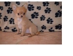 Photo Chiot Chihuahua a donner contre bon soins
